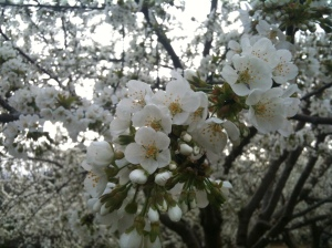 Sakura: la flor del cerezo